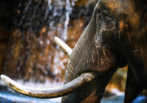 نفوق 50 فيلا جوعا وعطشا في محمية وطنية بزيمبابوي