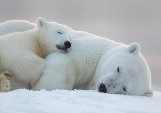 دراسة: الدببة القطبية قد تنقرض بحلول عام 2100