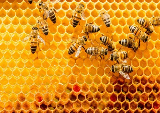 ما فوائد غذاء ملكات النحل على الإنسان؟