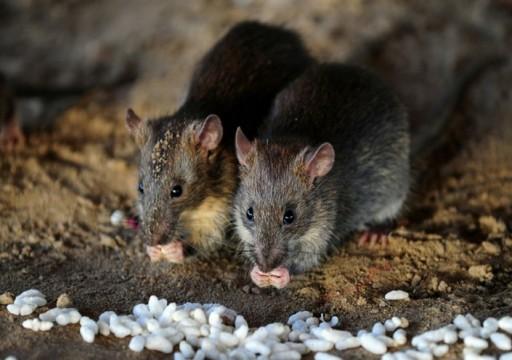 دراسة: الفئران استفادت من البشر لغزو العالم
